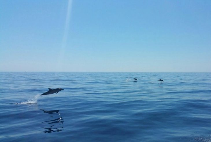 dolphins swimming in the Mediterranean Sea